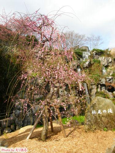 呉羽枝垂と梅見の滝