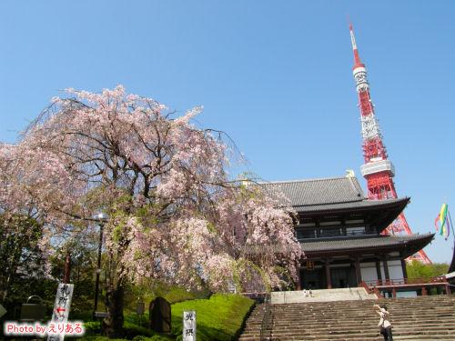 増上寺とシダレザクラ
