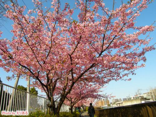 大横川の河津桜