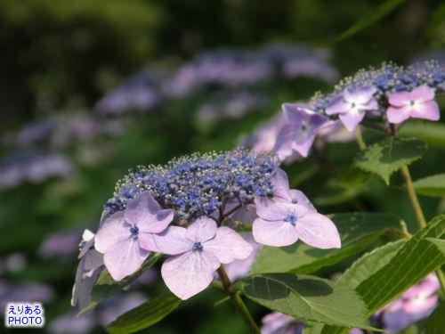 皇居東御苑の紫陽花