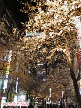 日本橋さくら通りの桜