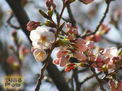 東京靖国神社の桜が咲きました。