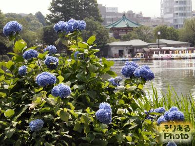 上野不忍池の紫陽花
