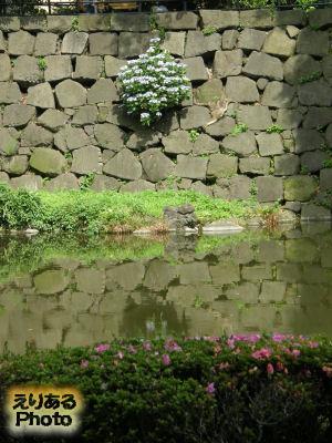日比谷公園 心字池の石垣に咲く紫陽花