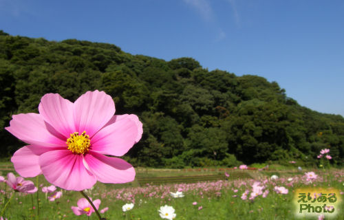 コスモス@くりはま花の国