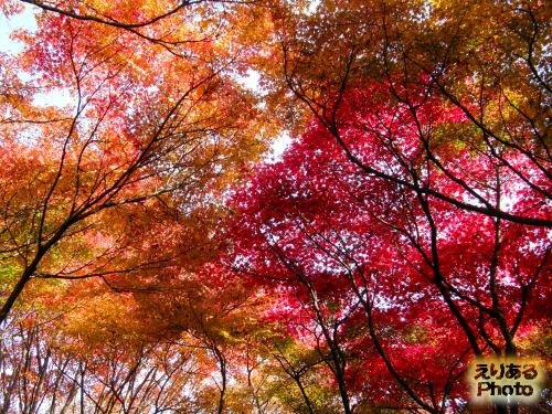 北の丸公園のもみじの紅葉