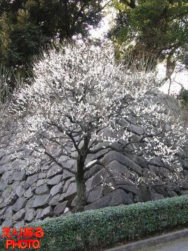 皇居東御苑梅林坂の梅