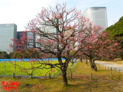 浜離宮恩賜庭園の紅梅