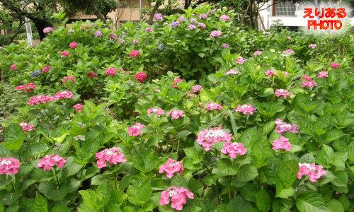 隅田公園の紫陽花 2011年