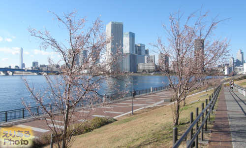 春海橋公園の桜