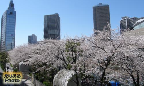 川崎の桜ソメイヨシノ2014