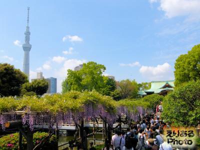 スカイツリーと亀戸天神社の藤2015