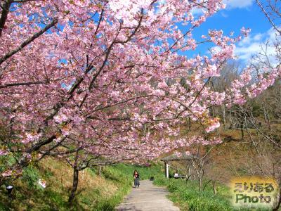 佐久間ダム湖周辺の河津桜