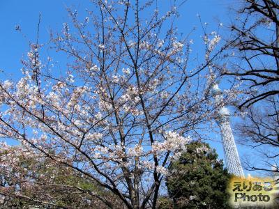 隅田公園の桜2016