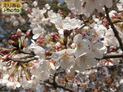 皇居東御苑の桜2016