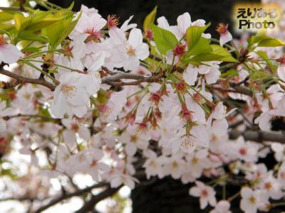 辰巳の森緑道公園の桜2016