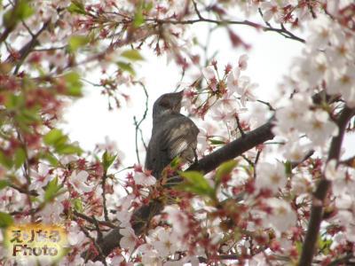 辰巳の森海浜公園の桜2016