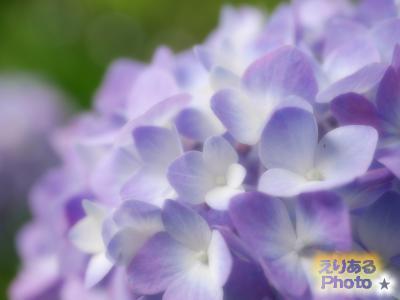 皇居東御苑の紫陽花2016
