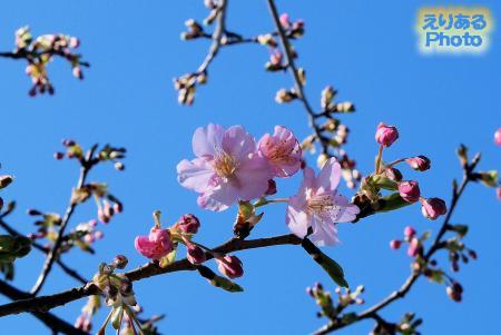 2017年のお台場の河津桜