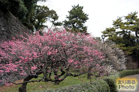 2017年皇居東御苑の梅