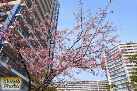豊洲の桜2017