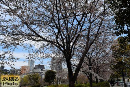 2017年桧町公園の桜