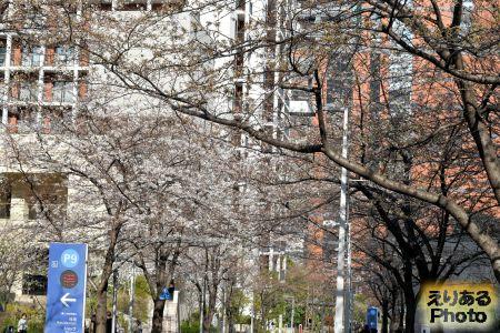 2017年六本木さくら坂の桜