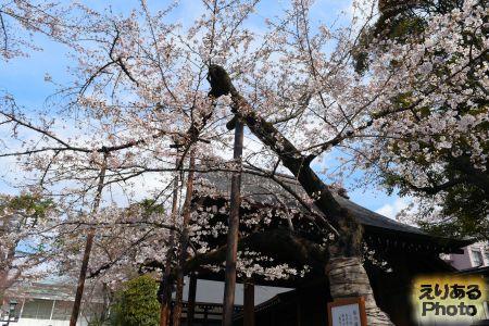 2017年靖国神社の桜