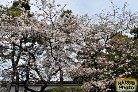 2017年皇居東御苑のソメイヨシノ