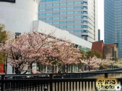 2017年晴海アイランドトリトンスクエア朝潮運河沿いの桜