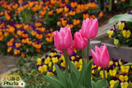2017年晴海アイランドトリトンスクエアの花々チューリップと