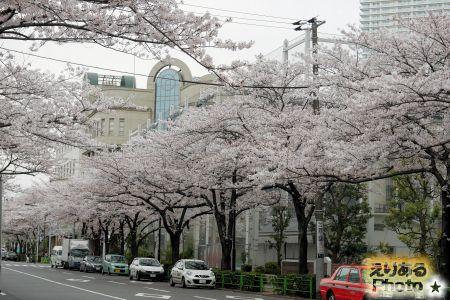 2017年晴海の桜