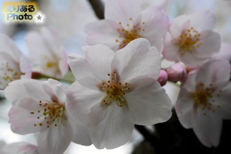 2017年辰巳の森緑道公園の桜