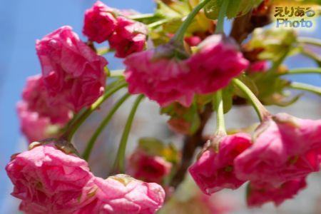 2017年豊洲の八重桜