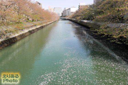 2017年大横川のほとんど散った桜