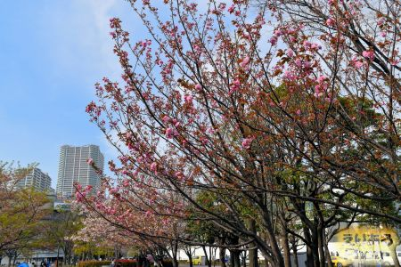 2017年豊洲公園の八重桜