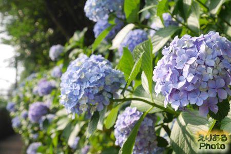 2017年飛鳥山公園の紫陽花
