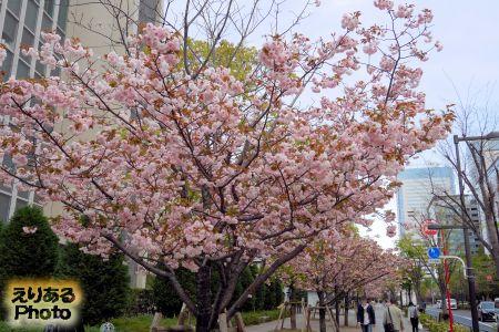 2018年豊洲の八重桜