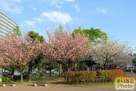 2018年豊洲公園の八重桜