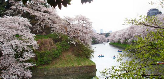 千鳥ヶ淵桜2007