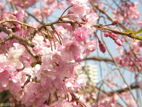 佃公園の桜