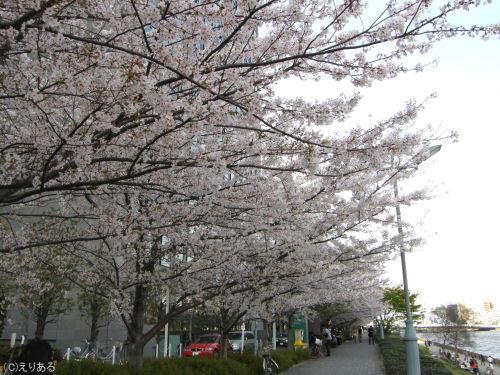 新川公園そばの桜並木