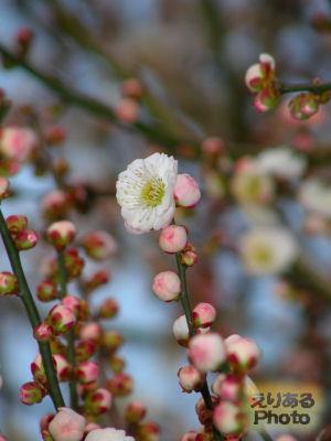 都立木場公園沿いの梅