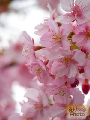 木場公園沿いの河津桜