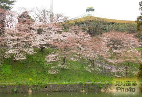 牛ヶ淵のさくらと日本武道館