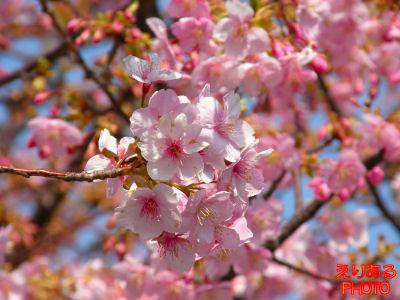 都立木場公園沿いの河津桜