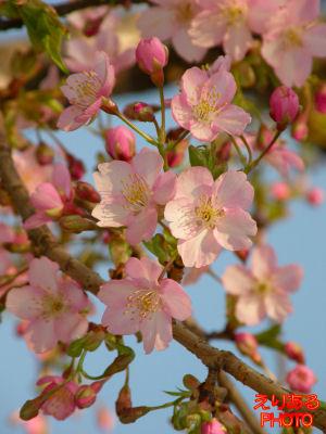 2011年アクアシティお台場の河津桜