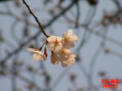 川崎駅付近の桜