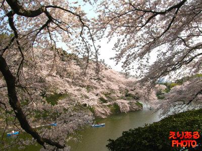 千鳥ヶ淵桜2011