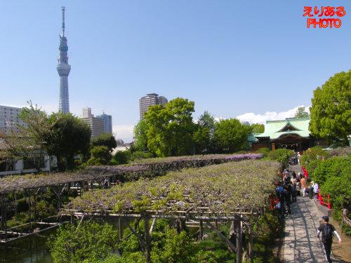 亀戸天神社の藤2011